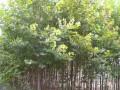杨树苗怎么栽植才能生长的快