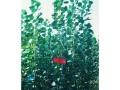 杨树苗在种植中应该如何管理?