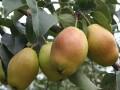 苗木种子怎样播种与防病方法