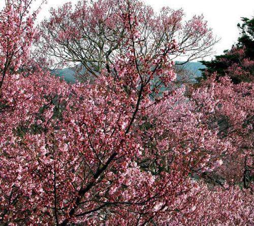 河北园林公司出售木槿,河北园林黄栌,河北乔灌木樱花