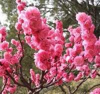 河北苗圃山桃,河北苗圃山杏,独杆榆叶梅