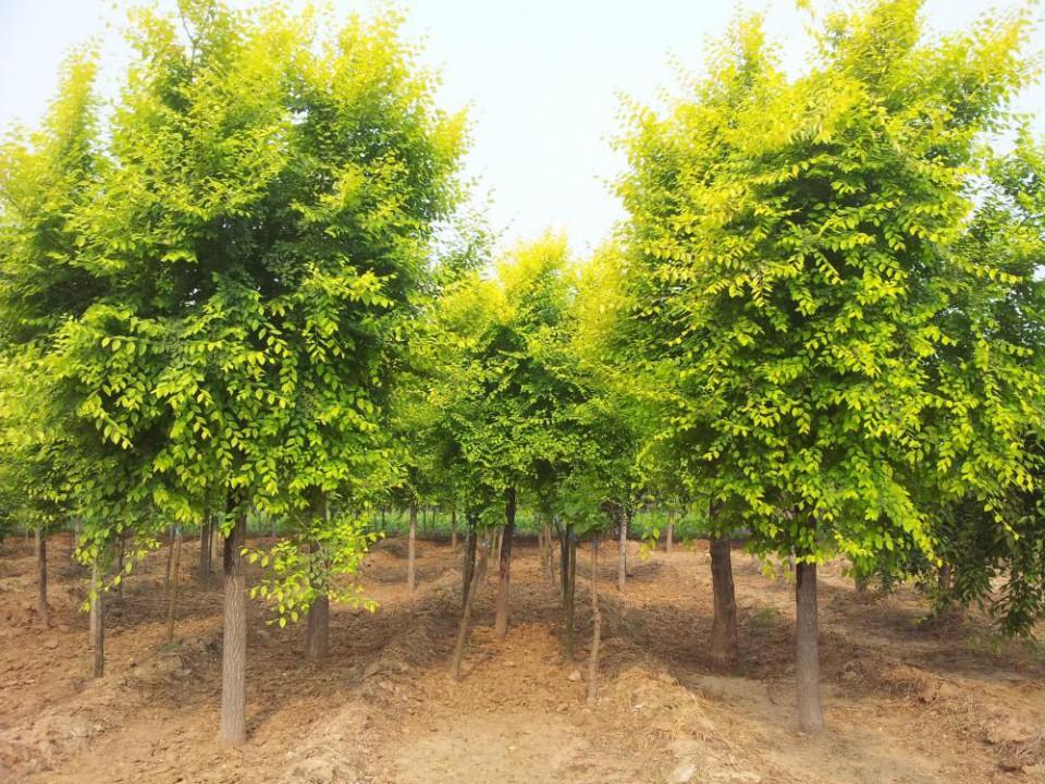 出售金叶榆,丛生金叶榆,高低杆金叶榆