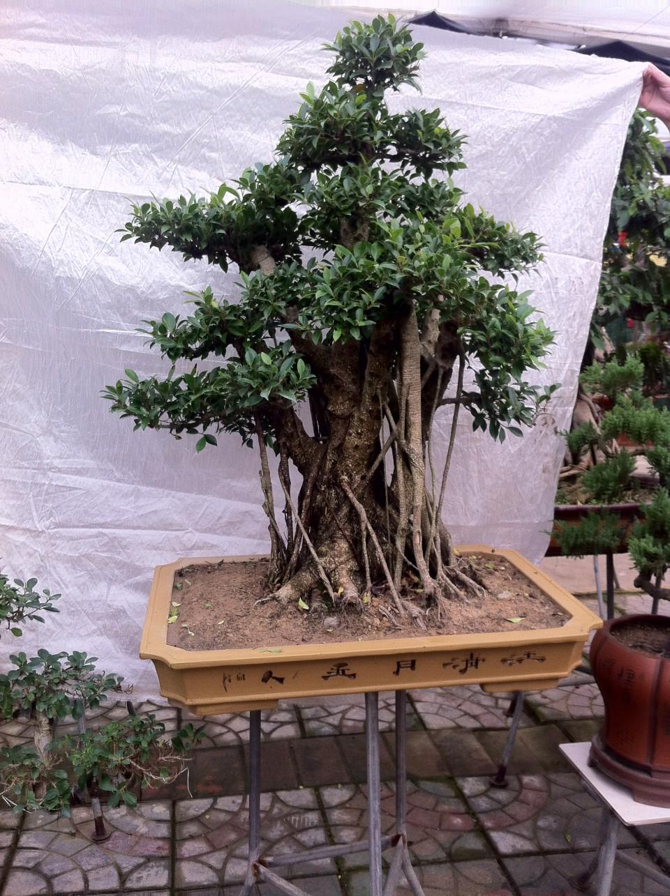 盆景榕树造型图片大全