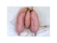 石家庄红薯苗