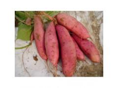 大量出售脱毒红薯苗龙薯9号
