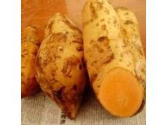 番薯苗销售价格