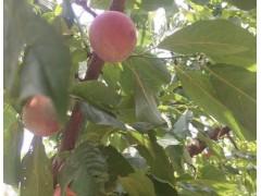 狼牙山农家院桃子