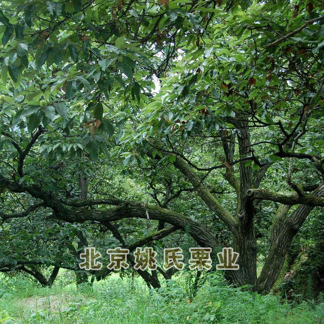 北京板栗果园