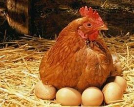 蛋鸡.jpg