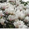 白玉兰  紫玉兰  玉兰价格  河北苗圃玉兰