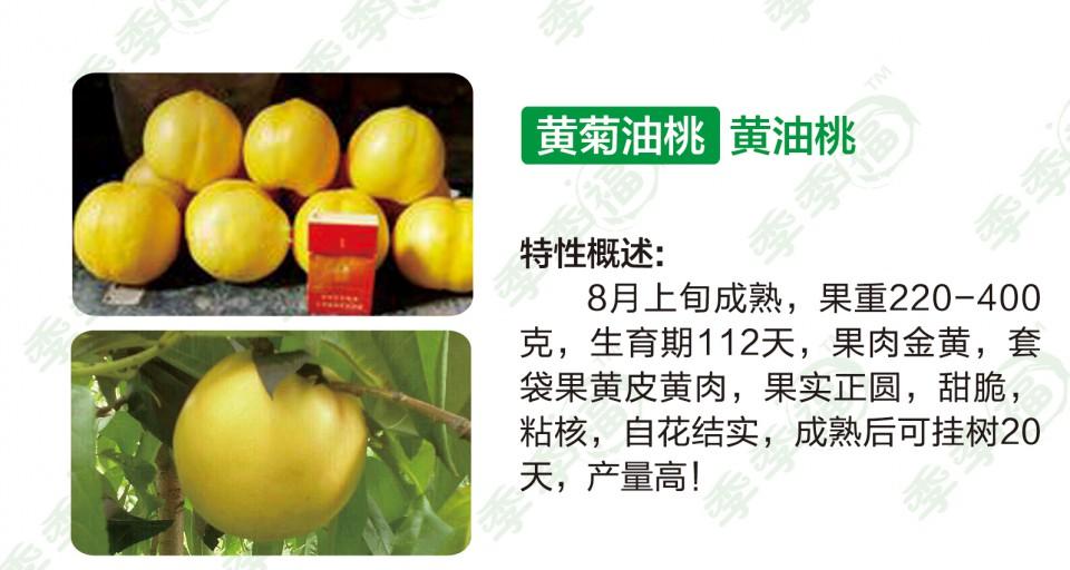 黄油桃-黄菊油桃