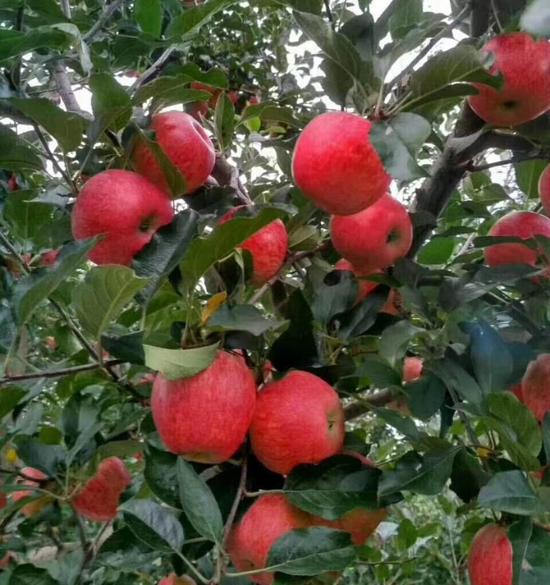 苹果肥施肥效果.jpg