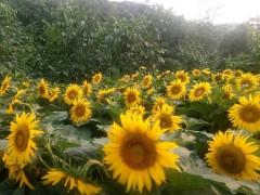 易水湖农家院向日葵园