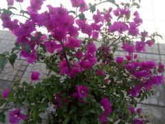 易水湖农家院鲜花盛开