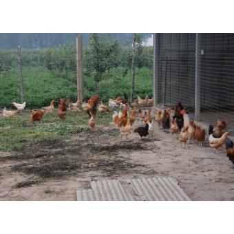 柴鸡(2)