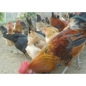 柴鸡(3)