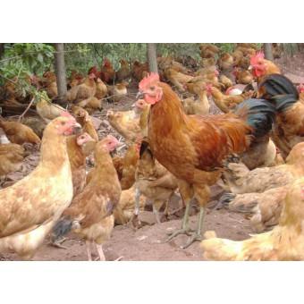 柴鸡(4)