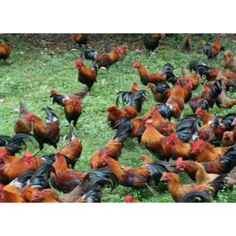 柴鸡(5)