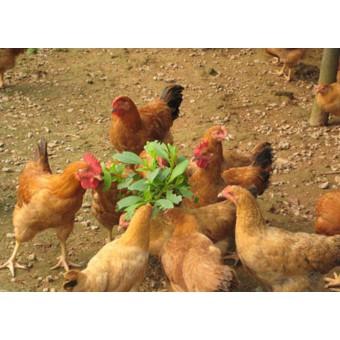 柴鸡(6)