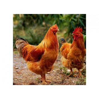 柴鸡(8)