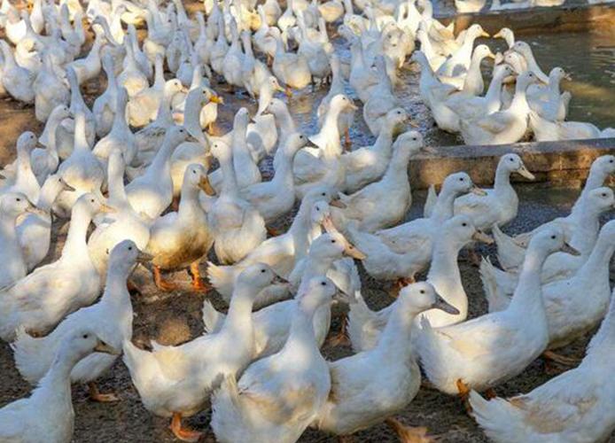肉鸭(1)