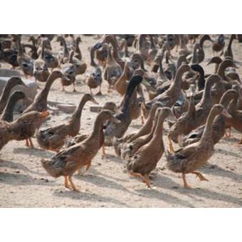 肉鸭(2)