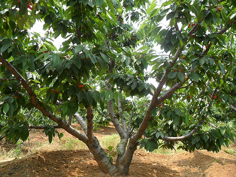 樱桃种植基地1.jpg