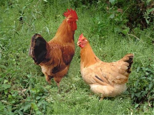 2柴鸡.jpg