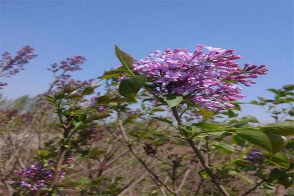 紫丁香02 (2).jpg