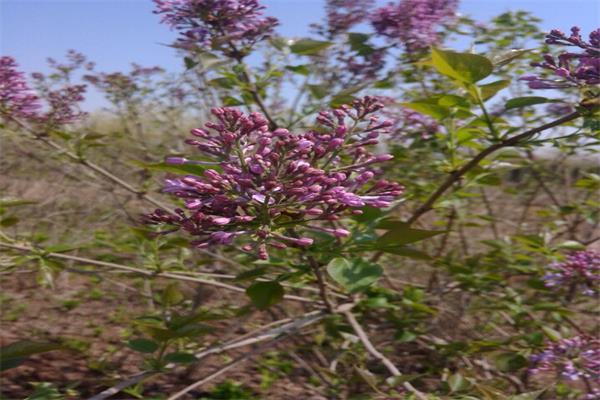 紫丁香05.jpg