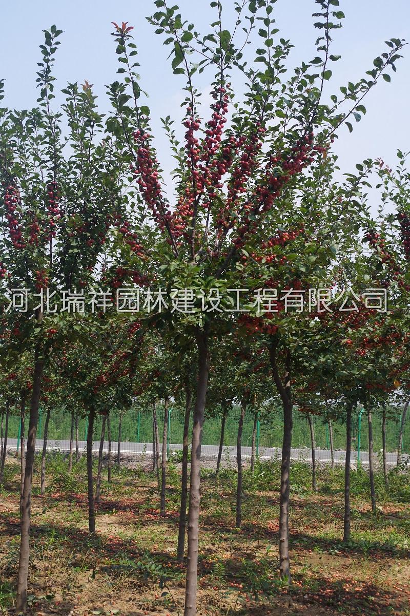 冬紅果海棠