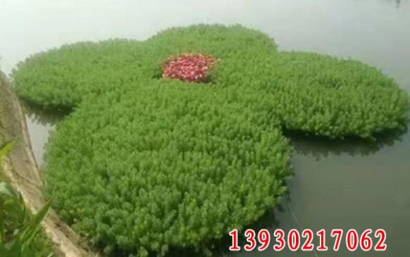 沉水植物简易浮床效果